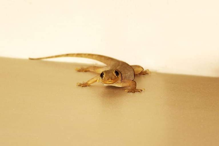 How to Get Rid of House Lizards Without Killing Them