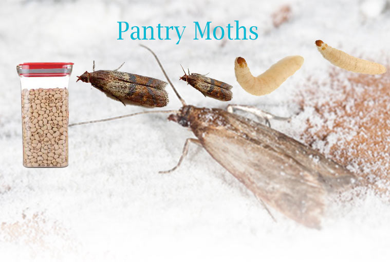 How to Get Rid of Small Pantry Moths