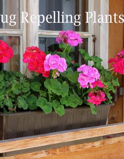 Plants that repel bugs, flies, mosquito, ticks, and wasps